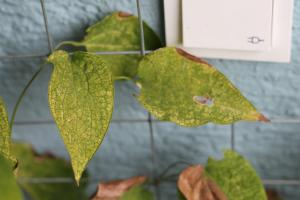 Clematis leaves showing signs of stress.
