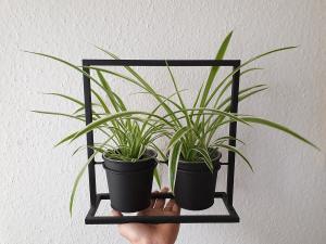 Gruenlilie Chlorophytum comosum