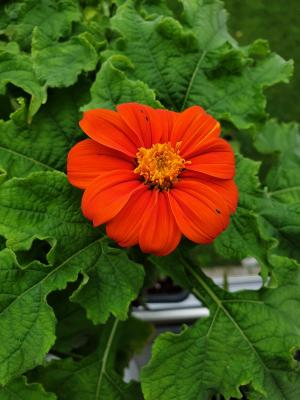 fresh tithonia