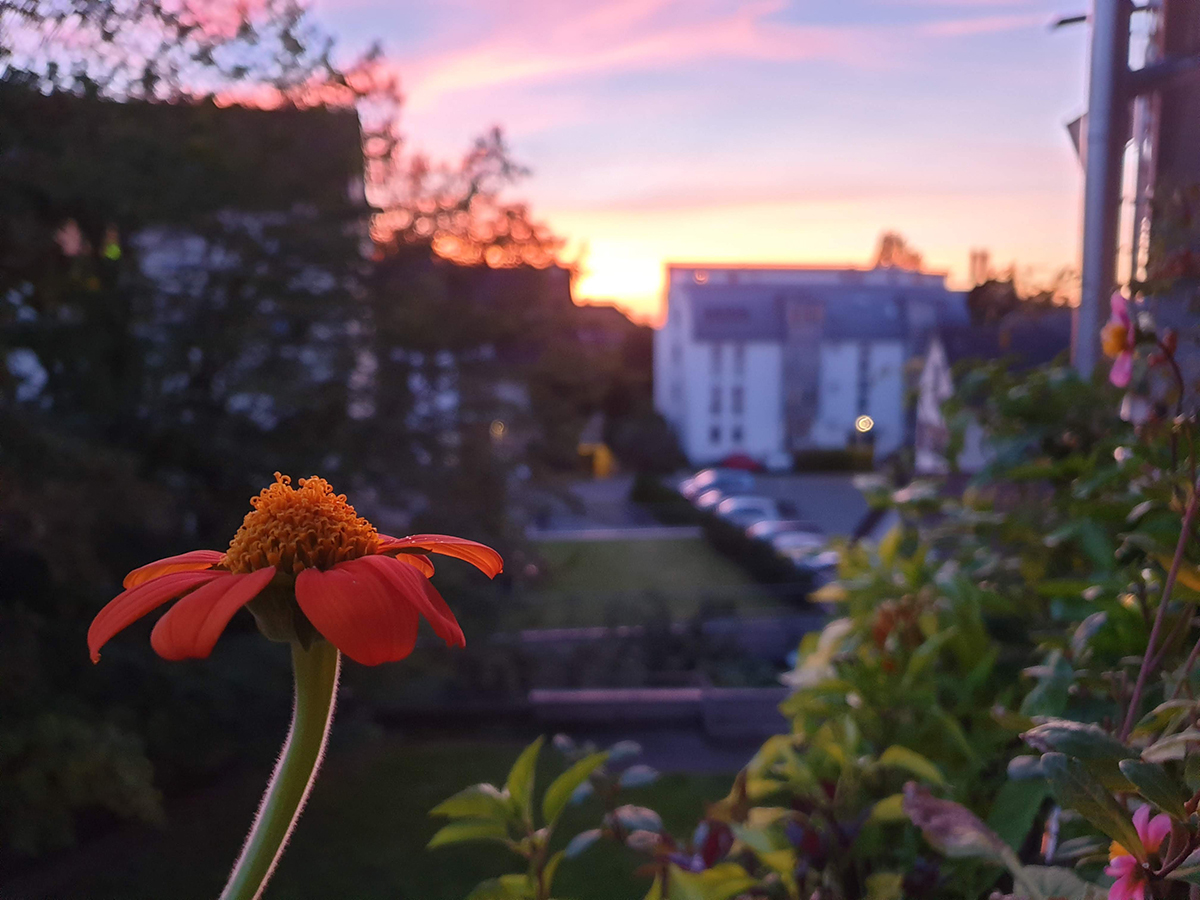 tithonia at sunset